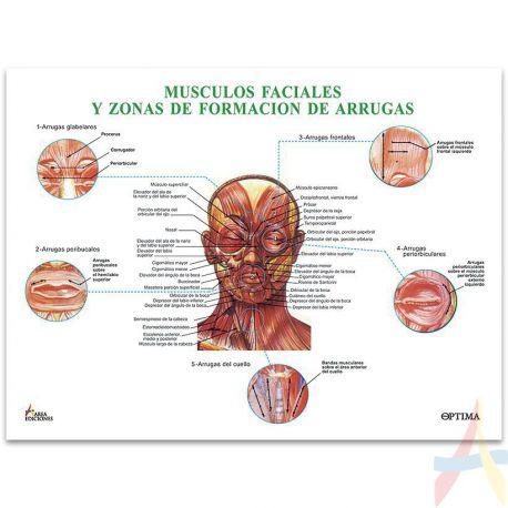 Músculos faciales y zonas de formación de arrugas - Areaediciones