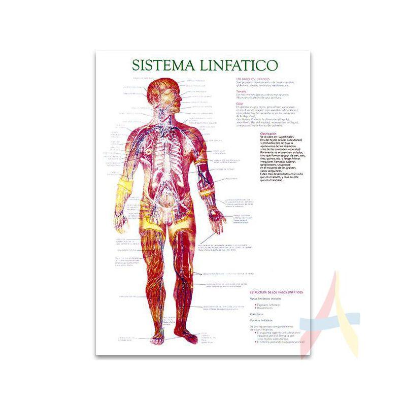 Sistema linfático - Areaediciones